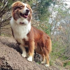 Dog, Tip the Aussie climbs to the top of a mountain