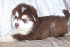 I want a red huskey so bad!