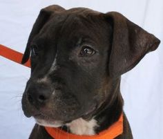 Queenie is an adoptable Pit Bull Terrier Dog in Baton Rouge, LA.  Queenie is just that the boss of her sisters. She is the most exuberant of the litter. She is playful and attentive. Come meet her...