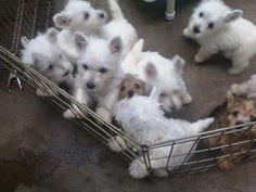 (and a couple of stealthy Norwiches!) Are they trying to escape from the Norwiches? Westie Puppies, Fluffy Puppies, Westies, Cute Puppies, Dog Pictures, Cute Pictures, Baby Animals, Cute Animals, Cutest Dog Ever