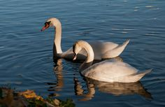 pair of swans - pair of swans on White Pond in Sergiev Posad.  beautiful, elegant birds, but they die because of the people... Vandals killed female of swan, now it has found a new life partner.