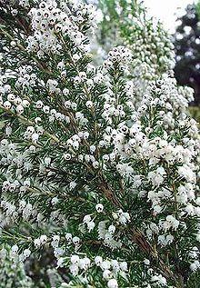 FETER LA BRUYERE : Bruyère UR - son Ogham U - Ura - Ura - U - La Bruyère : plante de la passion, associée à la montagne et à l'été.