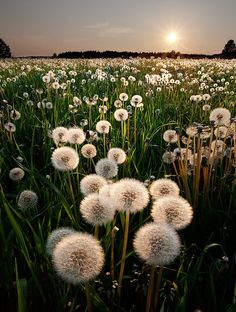 Dandelions may not be the most popular flower in one's garden, but in the right light they are a beauty.