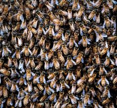 Bees, butterflies, and other insects are under attack by the very plants they feed on as U. agriculture continues to use chemicals known to kill. Insect Species, Bird Species, Agriculture, Apocalypse, Habitat Destruction, Agricultural Land, Grass Fed Beef, Life Cycles, Papillons