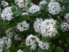 Viburnum carlesii (Korean Spice Viburnum): One of the best smelling blossoms of the spring!
