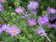 New England Aster (Symphyotrichum Novae Angliae) Is A Wonderful, Late  Summer Blooming