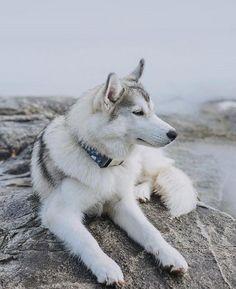 Wonderful All About The Siberian Husky Ideas. Prodigious All About The Siberian Husky Ideas. Alaskan Husky, Siberian Husky Puppies, Husky Puppy, Siberian Huskies, Husky Mix, Siberian Husky Colors, White Siberian Husky, Pomeranian Puppy, Corgi Puppies