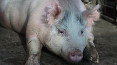 Scientists in the United States are trying to grow human organs inside pigs. They have injected human stem cells into pig embryos to produce human-pig embr
