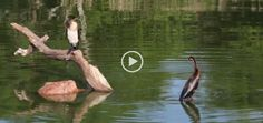Cormorant and African Darter