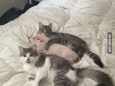 Cats love pigs.