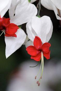 Bleeding Heart Vine - Clerodendrum thomsoniae