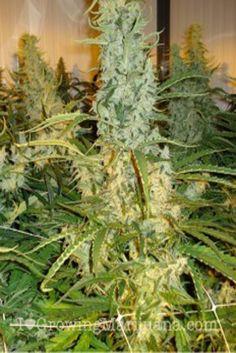 haze marijuana