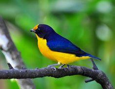 Foto gaturamo-verdadeiro (Euphonia violacea) por Oscar Abener Fenalti | Wiki Aves - A Enciclopédia das Aves do Brasil
