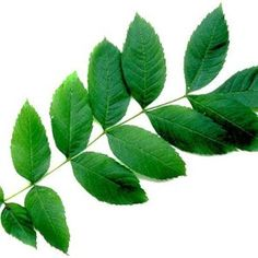 frunze de frasin Good To Know, Plant Leaves, Health Fitness, Plants, Yoga, Beauty, Fashion, Moda, Fashion Styles