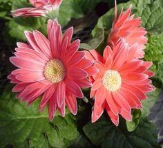 Gerbera flower http://www.growplants.org/growing/gerbera #gerbera  learn how to grow