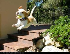 flying beagle pup