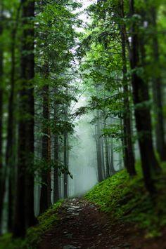 Druids Trees:  #Trees ~ Through The Fog,  Babiogorski National Park, Poland.