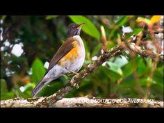 SABIÁ COLEIRA -O sabiá-coleira é uma ave passeriforme da família Turdidae. É conhecido também como caraxué-coleira. Mede cerca de 22 cm de comprimento. Apresenta sutil dimo...