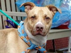 TO BE DESTROYED 12/23/14 Manhattan Center   My name is ZEUS. My Animal ID # is A1022763. I am a male tan and white am pit bull ter mix. The shelter thinks I am about 1 YEAR.    For more information on adopting from the NYC AC&C, or to  find a rescue to assist, please read the following: http://urgentpetsondeathrow.org/must-read/