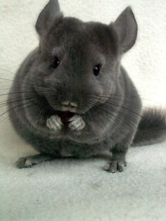 chinchilla standard grey and a Animals And Pets, Baby Animals, Funny Animals, Cute Animals, Hamsters, Rodents, Chinchilla Baby, Cute Mouse, Animal 2