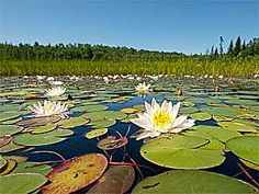Looks so familiar feel like I'm there even though I know I'm not! Ontario Provincial Parks, Camping Images, Algonquin Park, Vacation Memories, O Canada, Beautiful Park, Take Me Home, Water Lilies, My Happy Place