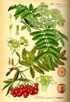 Vogelbeere oder Eberesche (Sorbus aucuparia), Illustration