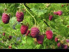 Les framboisiers : culture, plantation, taille, entretien, multiplication et récolte - YouTube