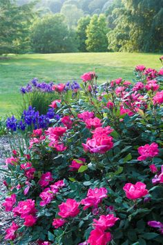 Pink Knock Out Roses with blue companion plants