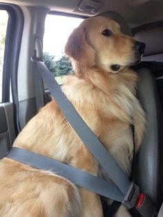 when safety comes first - golden retriever - teddy