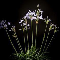 Certi Agapanthus Summer Love Blue, paars, blauw, agapanthus, Certi #Bloemen, #Planten, #webshop, #online bestellen, #rozen, #kamerplanten, #tuinplanten, #bloeiende planten, #snijbloemen, #boeketten, #verzorgingsproducten, #orchideeën
