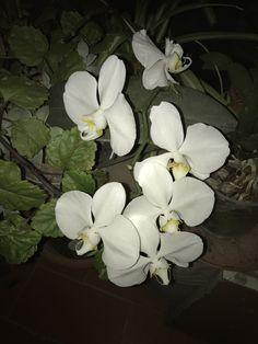 Orquídia del meu balcó urbà