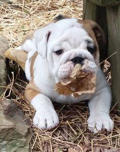 iFetch Interactive Ball Launchers for Dogs Baby Bulldogs, Cute Bulldogs, Bulldog Pics, English Bulldog Puppies, Bullen, Cute Dogs And Puppies, Doggies, Cute Little Animals, Mundo Animal