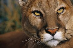 The Rancho Cucamonga Police Department would like to alert area residents of a recent vicious mountain lion attack in a residential area of north Fontana. Description from wp.sbcounty.gov. I searched for this on bing.com/images