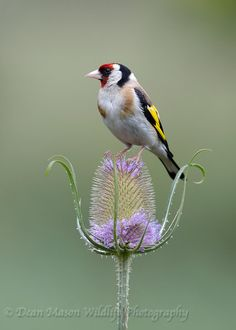 Dean Mason Wildlife Photography-Goldfinch
