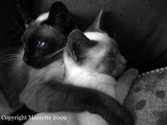 "I Will Look After You photo by Lorena Rowe. ""This sweet photograph of my Siamese cats having a cuddle showcases the love that two creatures can have for one another. This black and white photo was digitally altered in a photo-editing program to highlight the bright blue watchful eye of Mei-Ling, who is keeping watch while her younger sister Thailee sleeps. Photo was taken with a Canon PowerShot A610 digital camera"""