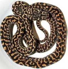 Zebra Jungle Carpet Python - Inland Reptile
