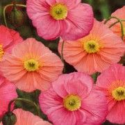Poppy Iceland Pink Champagne F1 Seeds