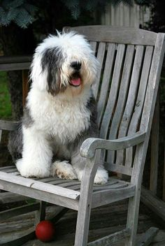 So cute and furry! Tibet Terrier, English Sheepdog Puppy, Cute Puppies, Dogs And Puppies, Puppy Crafts, Pet Dogs, Dog Cat, Animals And Pets, Cute Animals