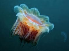 Lion's mane jellyfish.