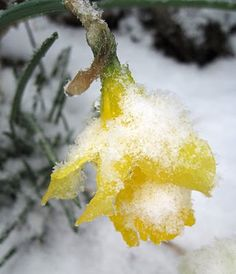 The first fallen snow is barely enough to bend the jonquil leaves. .....Basho