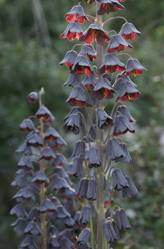 20 Black Flowers and Plants to Add Drama To Your Garden Fritillaria persica. I love flowers that appear to be wilting or bell shaped and the fact that these are black makes them even better! They would be perfect for my black flower greenhouse. Moon Garden, Dream Garden, Dark Flowers, Beautiful Flowers, Purple Flowers, Gothic Garden, Black Garden, Unusual Plants, My Secret Garden