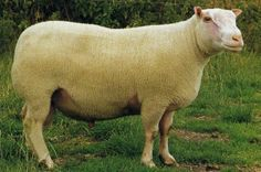 Ovins, Moutons : Charmoise