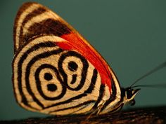 Neglected Eighty-Eight Butterfly, Brazil