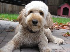 17 Best Heartsong Australian Labradoodles Images Animaux