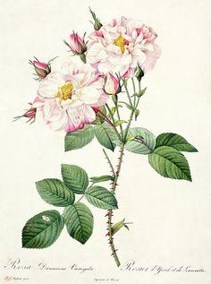 Rosa Drawing - York ve Lancaster Rose, Pierre Joseph Redoute tarafından