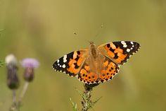 Gepind vanaf vroegevogels.vara.nl - Distelvlinder
