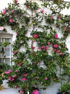 training camellias up a wall is such a fantastic idea! the leaves stay green and waxy in the winter (unlike ivy) / Magic Garden <3