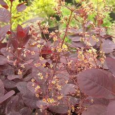 My Wishlist Flowering Shrubs, Trees And Shrubs, Purple Smoke Bush, Zone 5, Garden, Flowers, Plants, Dark Purple, Garten