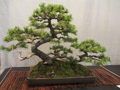 Mugo Pine bonsai by Vance Wood.