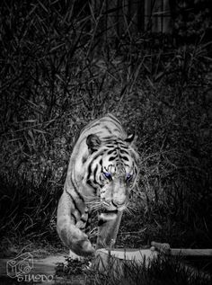 Bengal tiger by Mohammad Albawe on 500px
